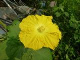 20130810ヘチマの花