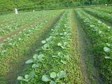 20130911キャベツ畑