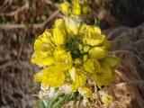 20120113菜の花2