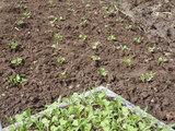 小松菜の定植