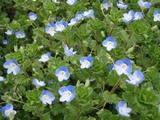ブルーのお花畑