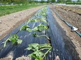 20130531サツマイモ植え