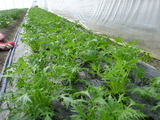 20130201水菜
