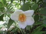 20120624ナツツバキ沙羅双樹