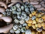 20130803かぼちゃ収穫1