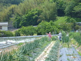 20140525タマネギ収穫1