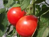 tomato28