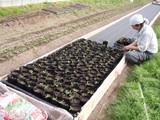 トマト植え替え1