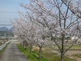 20130404桜3