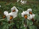 20120527ジャガイモの花3