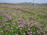 20120423レンゲ畑1