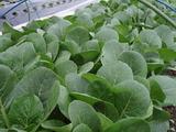 20120422小松菜