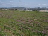 20120423レンゲ畑2