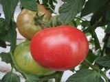 20110610トマト