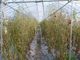 20130809トマト乾燥中