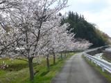 20140402桜3