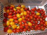 20130531ミニトマト