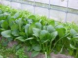 20121108小松菜