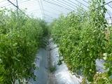 20120807トマト終わり