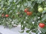 20110612トマト出荷可