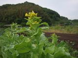プチヒリの花