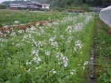 20110603大根の花
