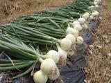 20120602タマネギの収穫