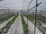 20120409トマト定植