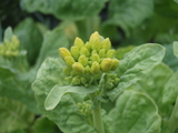 ナバナの菜の花