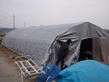 20111221ウド小屋シート張り3