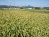 20110911稲穂
