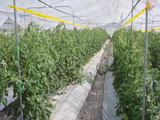 20110526トマト