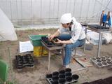 2011トマト植え替え