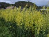 20120501プチベールの花