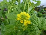 20121227菜花