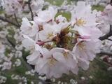 20150402桜2