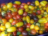 20150624ミニトマト