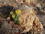 20120113菜の花1