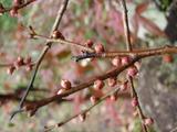 20120223紅梅のつぼみ