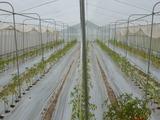20130424トマト定植1