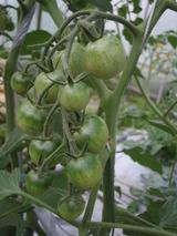 20120526ミニトマト