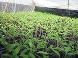 20150221トマト植え替え1
