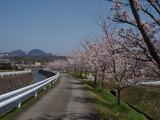 20120412桜2