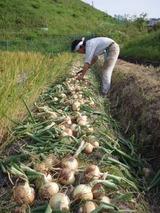 20110526タマネギの収穫