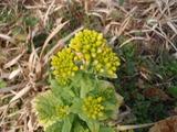 2月菜の花2