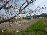 20130404桜1