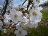 20140402桜4