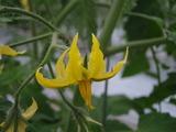 20120420トマト花盛り