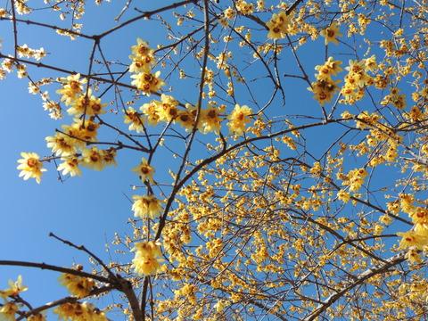 桜山公園の蝋梅、福寿草開花状況