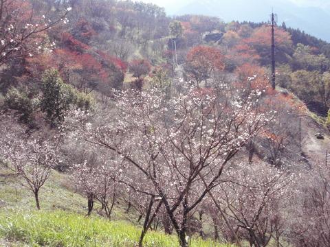 冬桜の季節です